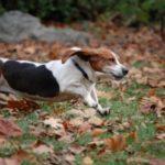 beagle-running-wash-n-wags-salisbury-ma