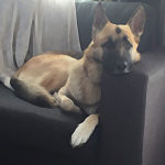 resting-german-shepherd-not-exercising